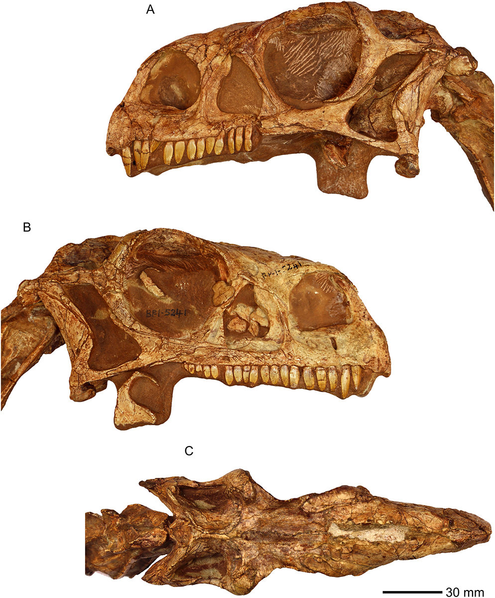 Photographs of the skull of BP/1/5241. (A) Left lateral view. (B) Right lateral view. (C) Dorsal view.