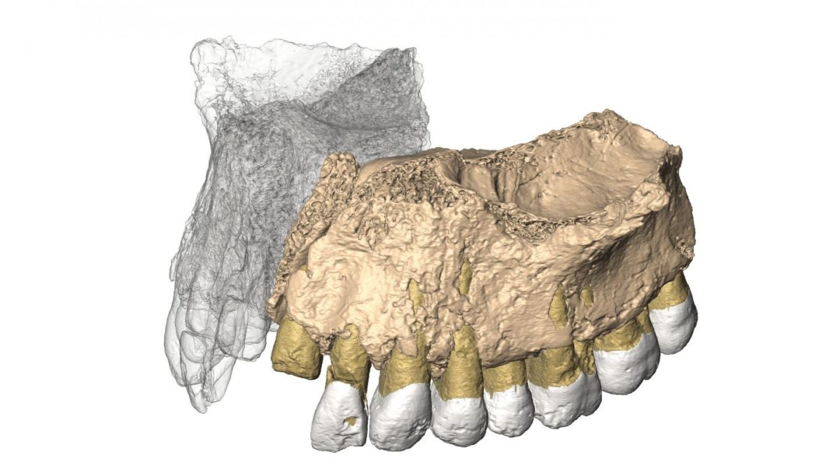 Reconstruced maxilla from microCT images. Credit: Gerhard Weber, University of Vienna, Austria.
