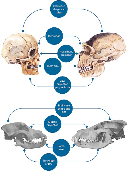 Craniofacial differences between modern humans and Neanderthals (top)  and between dogs and wolves (bottom). Credit: PLOS ONE