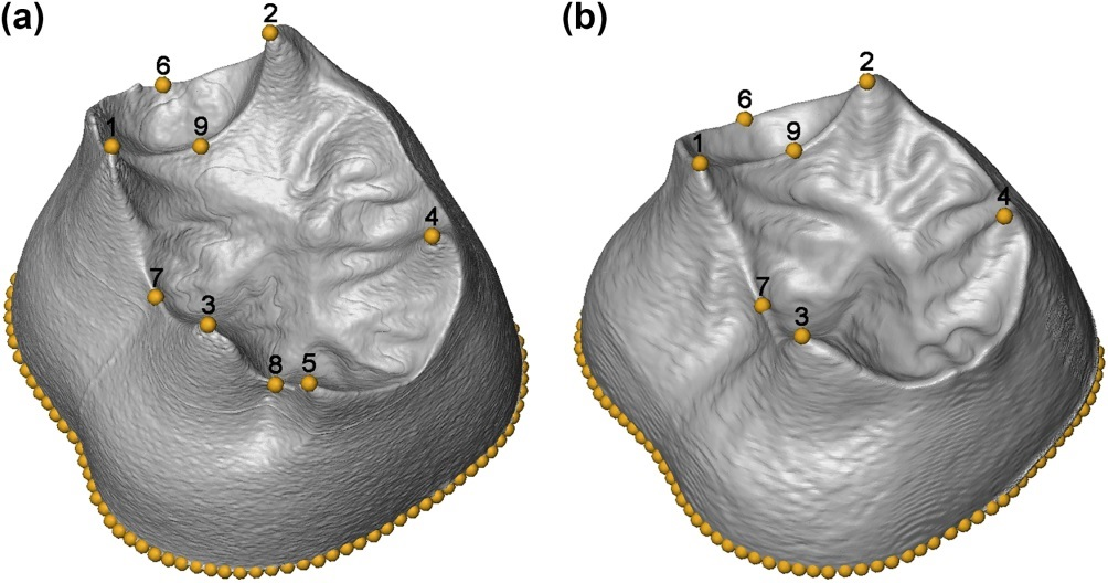 Dentine surface illustrating the landmarks used to capture their shape / Hanegraef et al.