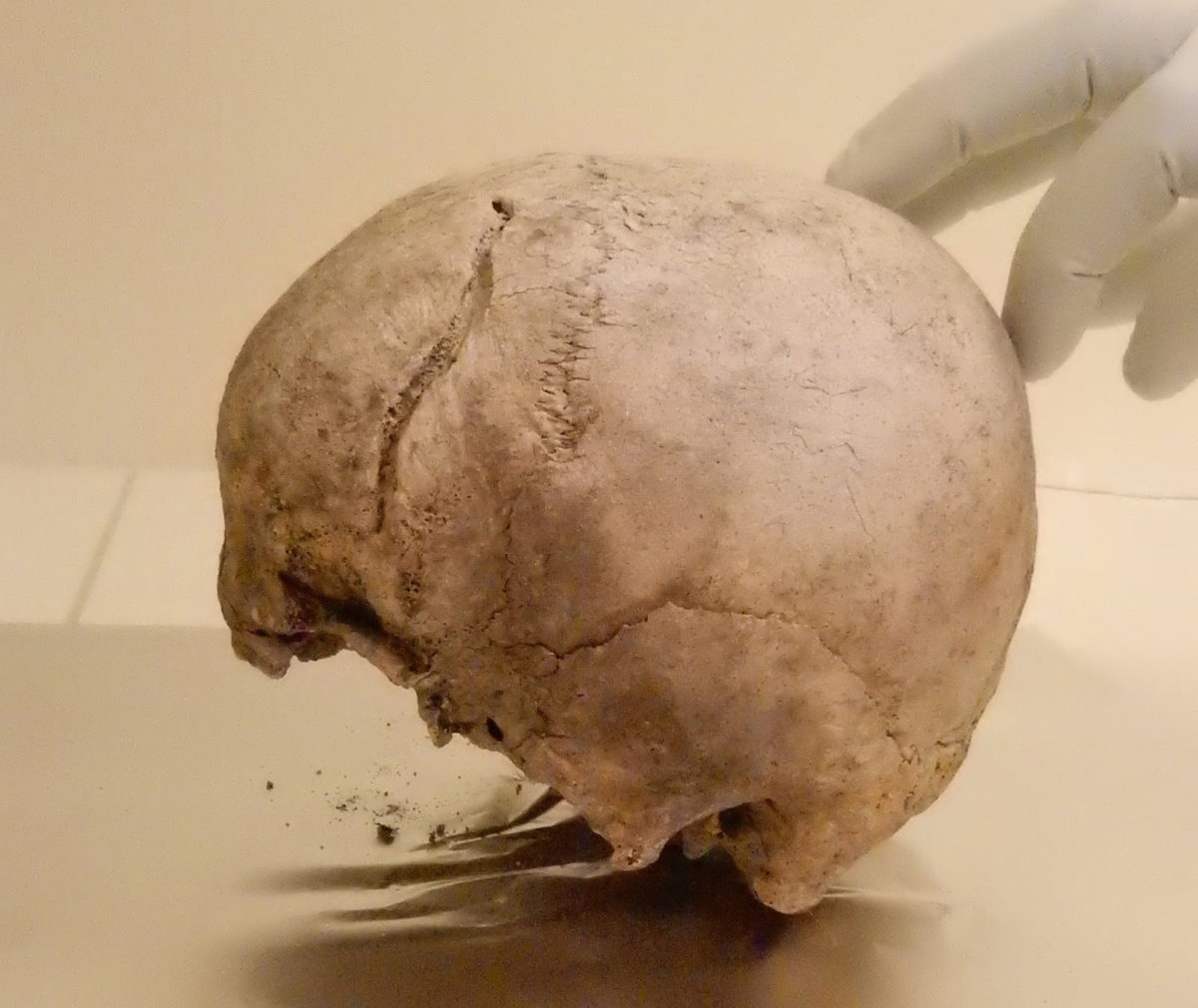 Skull included in this study from Ölsund, Hälsingland, Sweden, dating to around 2,300 BCE, in the ancient DNA laboratory at the Max Planck Institute for the Science of Human History. Credit: Alissa Mittnik