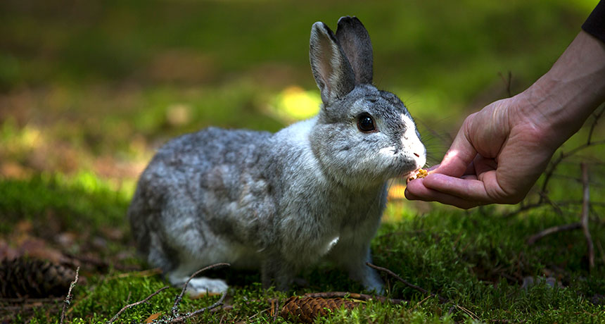 Rabbits came from the Iberian Peninsula and Southern France, but scientists are still debating how the animals became domesticated.