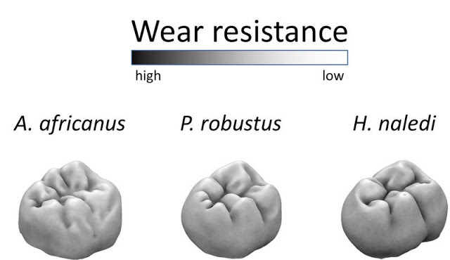 Molar wear resistance of two older South African hominins (Australopithecus africanus and Paranthropus robustus) and  Homo naledi: Darker colours indicate more wear resistant areas of the tooth, and lighter colours indicate less wear  resistant areas. Credit: MPI f. Evolutionary Anthropology