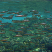 Fish accounted for surprisingly large part of the Stone Age diet