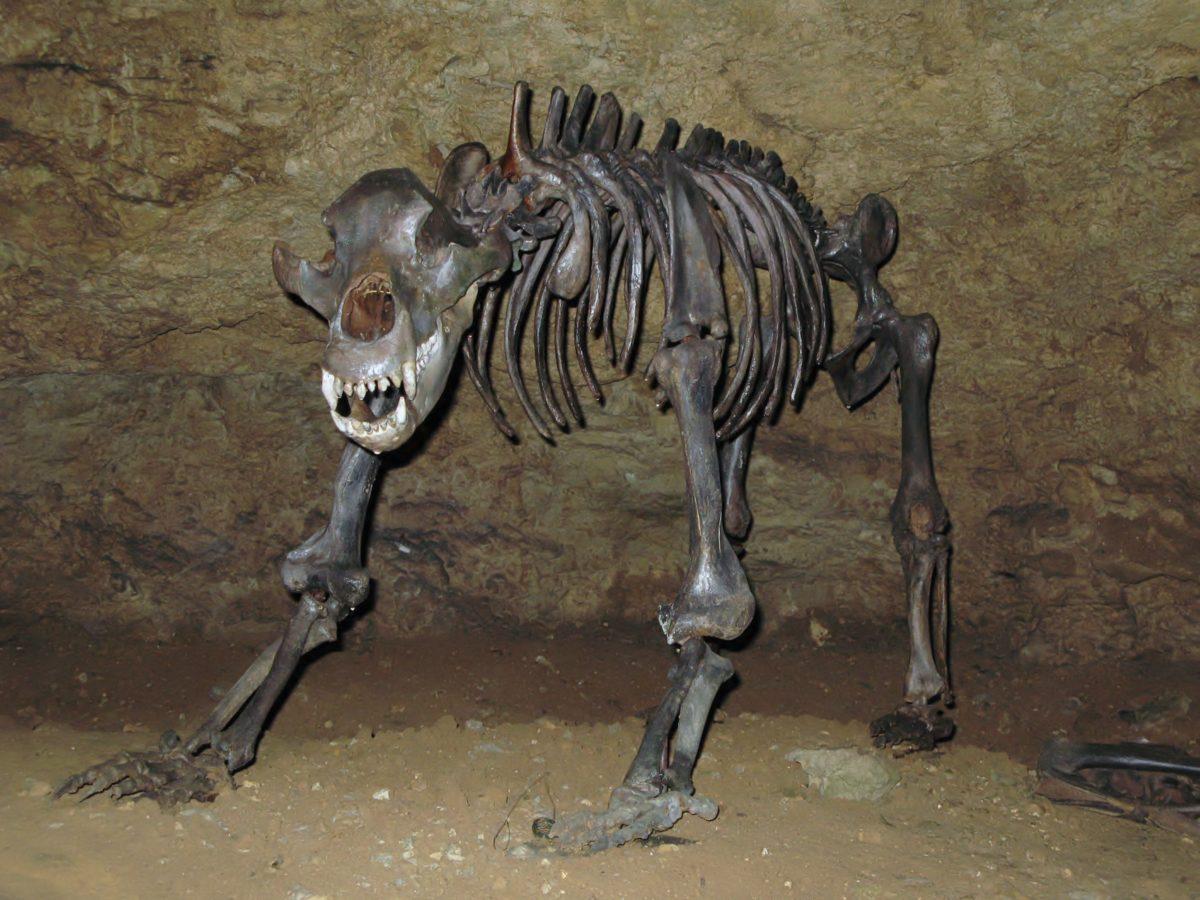 Ursus spelaeus.