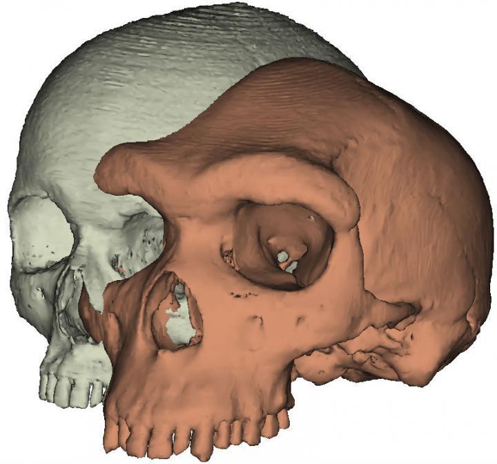 Eyebrows on fleek: Model of a modern human skull next to Kabwe 1. Credit: Paul O'Higgins, University of York