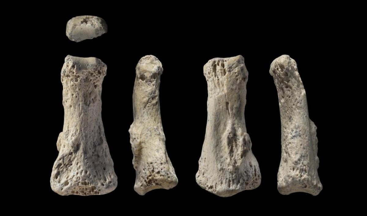 Fossil finger bone of Homo Sapiens from the Al Wusta site, Saudi Arabia. Credit: Ian Cartwright