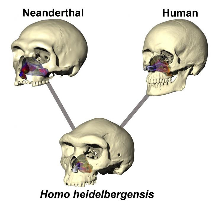 Image illustrates the difference in skull and nose shape in the three human species tested. Airflow is color-coded for temperature (warmer colors = warmer air, cooler colors = colder air). Lines indicate that Neanderthal and modern-humans likely diverged from an ancestor very close to Homo heidelbergensis. Credit: University of New England, Armidale, New South Wales