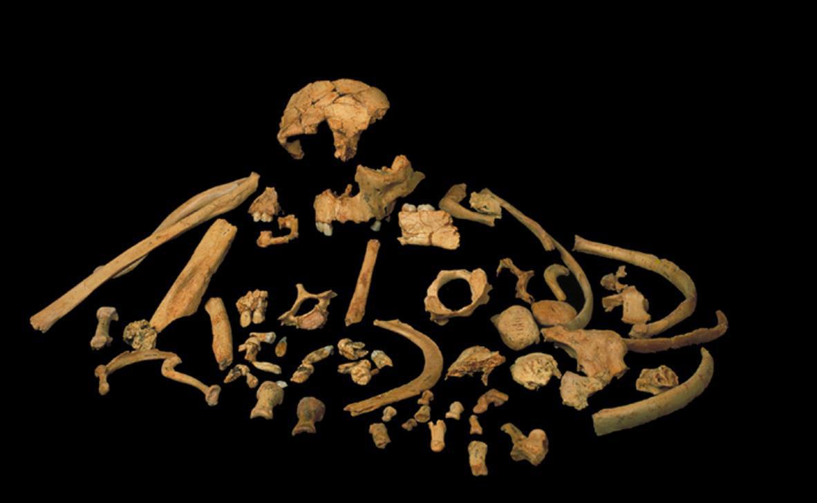 Fossils of Homo antecessor found at level TD6 of Gran Dolina /J.M. Bermúdez de Castro, M.N.C.N. (24)