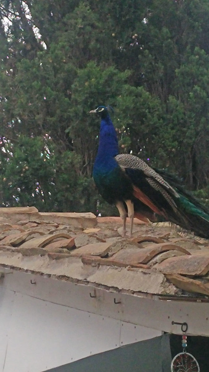 Kaiser, the gorgeous peacock that lives on Ponikonisi (photo: Athens and Macedonian News Agency).