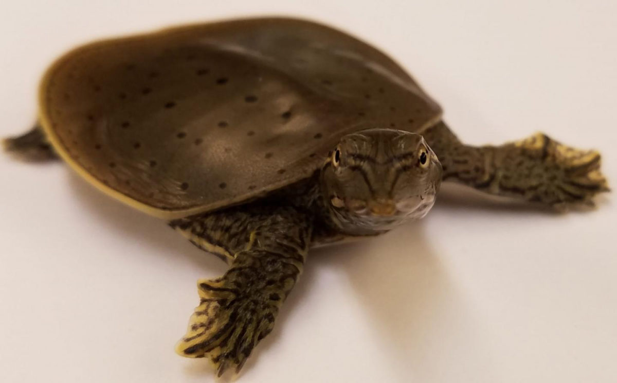 This is an Apalone spinifera spiny softshell turtle hatchling. Credit : Nicole Valenzuela