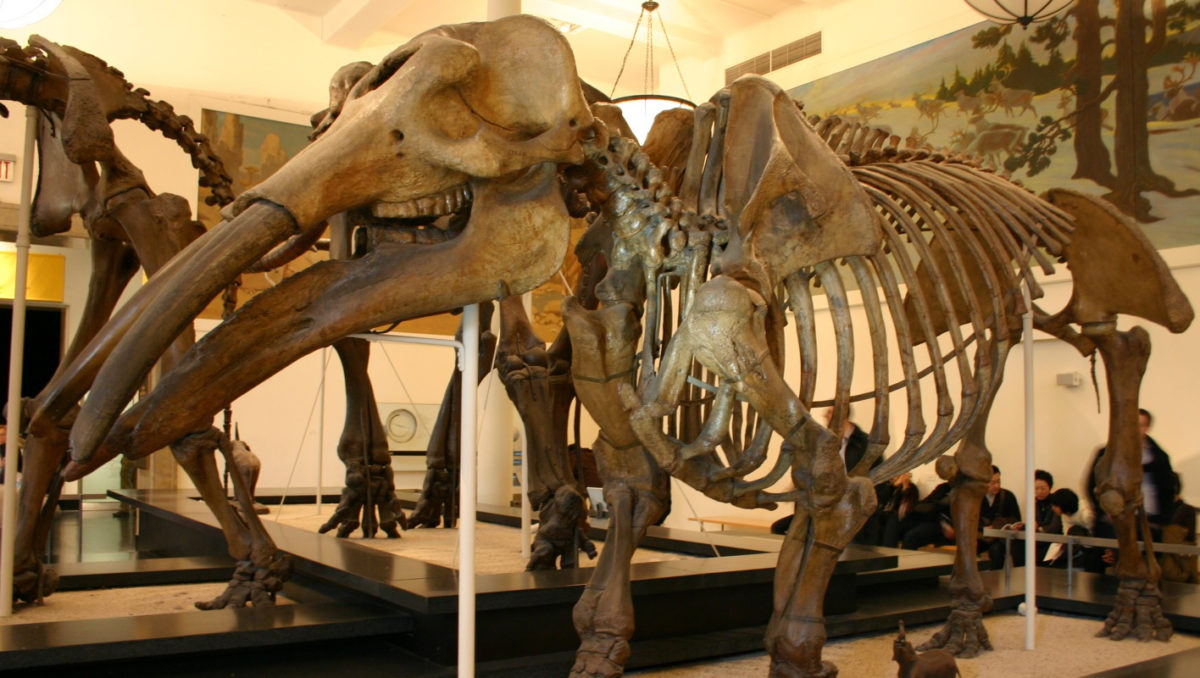 Skeleton of Gomphotherium productum. Image Credit : Ryan Somma