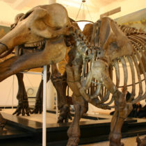 Feeding habits of ancient elephants uncovered from grass fragments stuck in their teeth