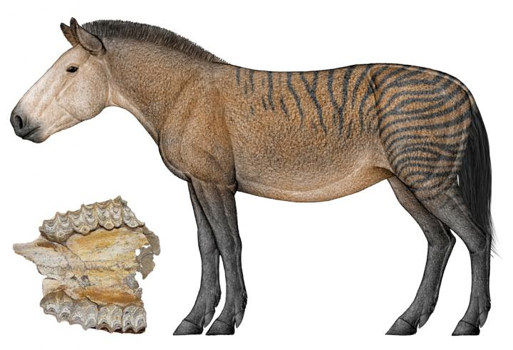 This is an image of an upper jaw fossil and a reconstruction of Hipparion forstenae (art by Chen Yu). ©Science China Press