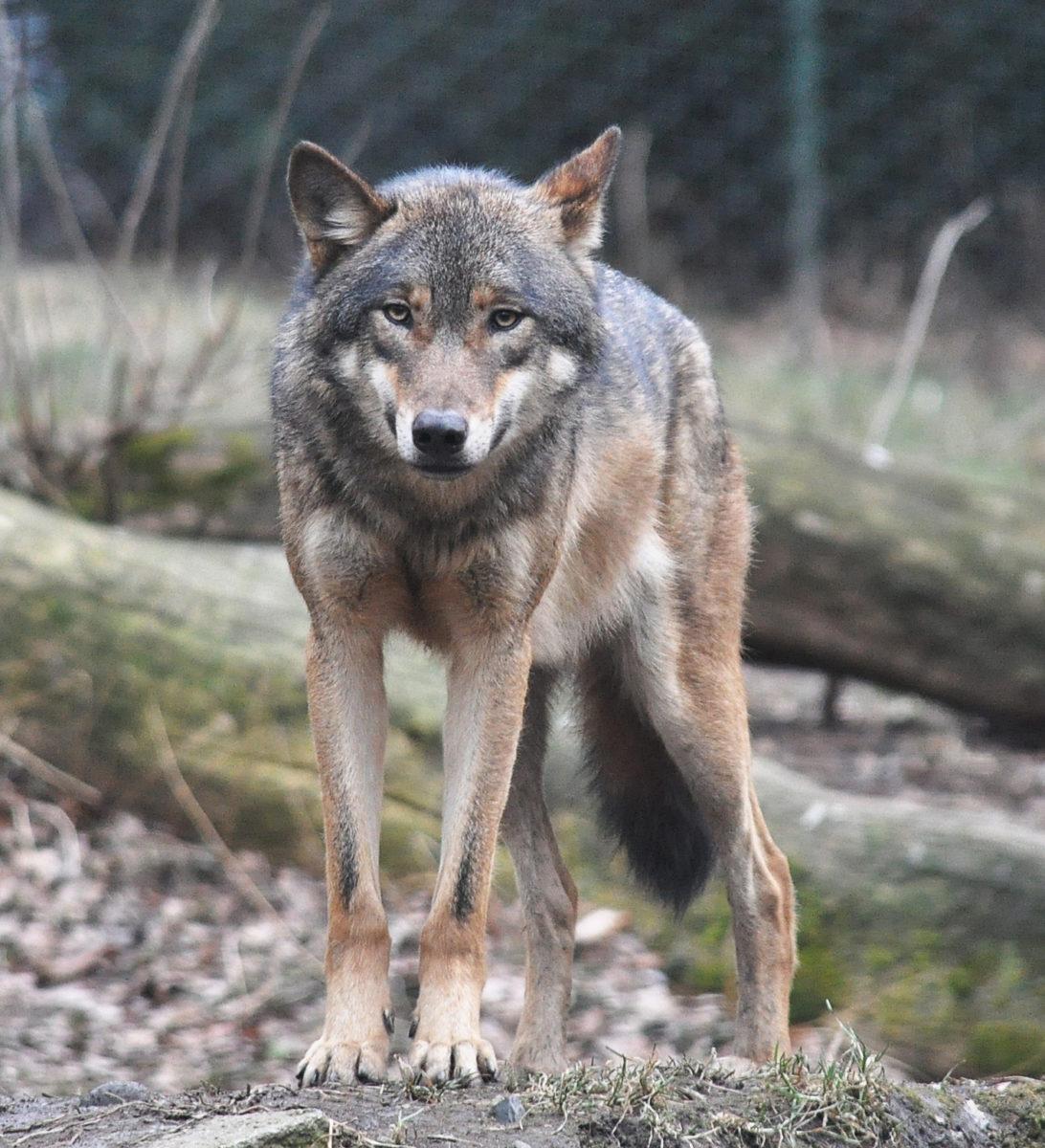 European grey wolf. Prague Zoo.
