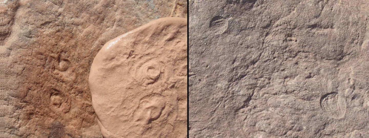 Two new Ediacaran-era fossils discovered by UCR researchers: Obamus coronatus (left) and Attenborites janeae. Credit : UC Riverside