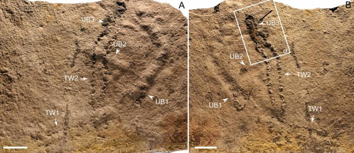 Trackways and burrows excavated in situ from the Ediacaran Dengying Formation. Credit: NIGP