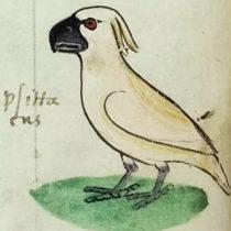 How did an Australasian cockatoo reach 13th century Sicily?
