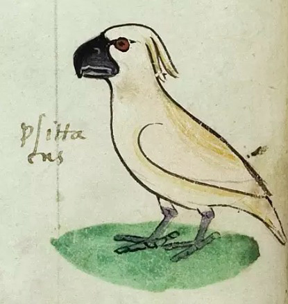 One of the four images of the cockatoo gifted to Frederick II by the 'Sultan of Babylon'.  Codex Ms. Pal. Lat 1071, folio 20v [Credit: Biblioteca Apostolica Vaticana, 2018]