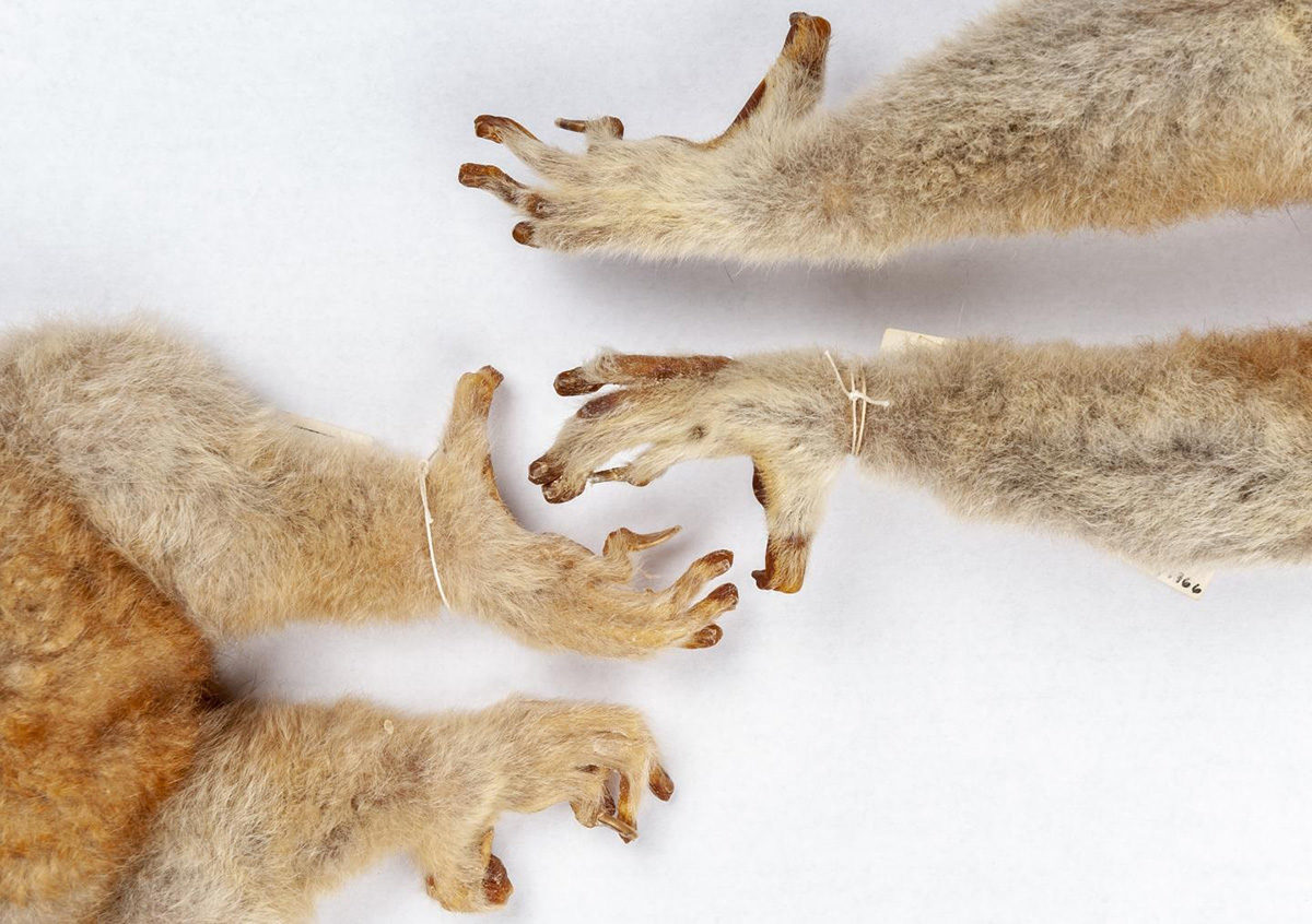 Lemurs, lorises and galagoes have nails on most digits and grooming claws on their second toes, as seen on the feet of two greater slow lorises, Nycticebus coucang, in the Florida Museum mammals collection. Credit : Florida Museum photo by Kristen Grace