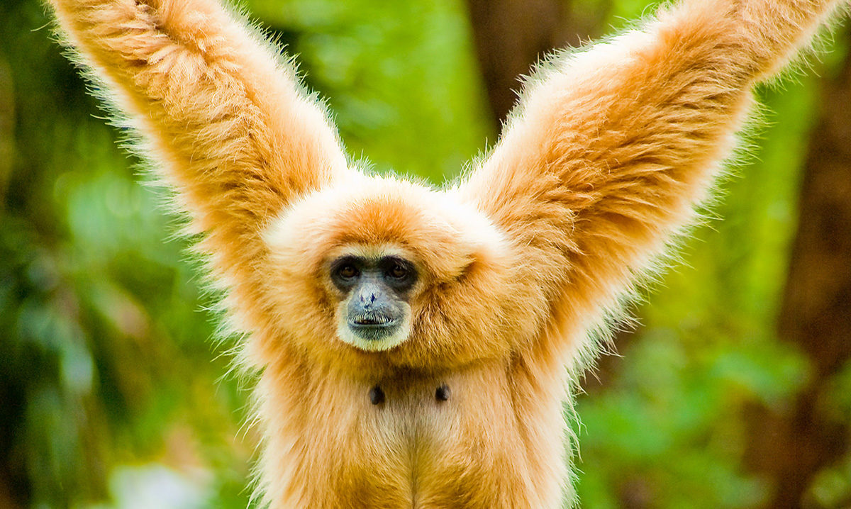 Gibbon. Credit: Thomas Tolkien – CC 2.0