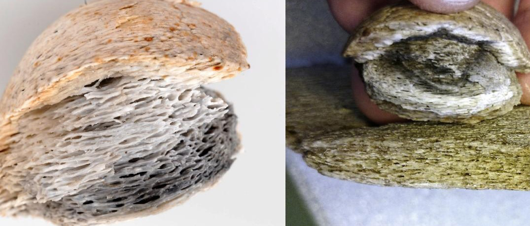 Left: a board-game piece made from whalebone at the end of the 6th century CE, found in Gnistahögen near Uppsala, Sweden (photograph by Bengt Backlund, Uppland County Museum). Right: the bone structure of the gaming piece compared with reference bone from minke whale (photograph by Rudolf Gustavsson, Societas Archaeologica Upsaliensis, SAU). Credit: Bengt Backlund/Rudolf Gustavsson