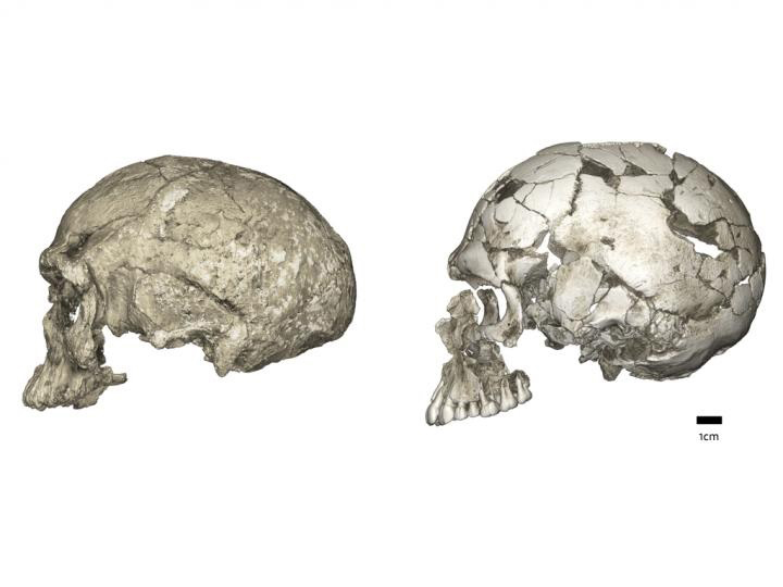 Evolutionary changes of braincase shape from an elongated to a globular shape. The latter evolves within the Homo sapiens lineage via an expansion of the cerebellum and bulging of the parietal. Left: micro-CT scan of Jebel Irhoud 1 (~300 ka, Africa); Right: Qafzeh 9 (~95 ka, the Levant). Credit :  Philipp Gunz, Max Planck Institute for Evolutionary Anthropology