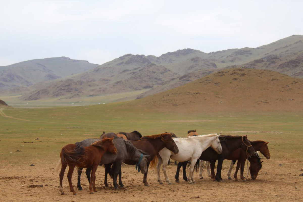 Horses congregate near a deer stone site in Bayankhongor, in central Mongolia's Khangai mountains. Credit: William Taylor