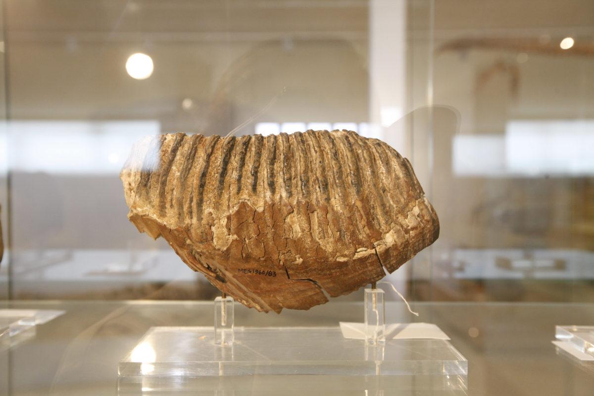 Fossilized elephant tooth (photo: AMNA/Vasileios Karakitsios)