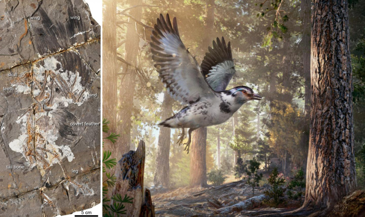 A 127-million-year-old fossil bird, Jinguofortis perplexus (reconstruction on the right, artwork by Chung-Tat Cheung), second earliest member of the short-tailed birds Pygostylia. Credit:  WANG Min