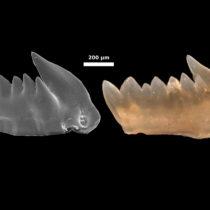 The first predators and their self-repairing teeth