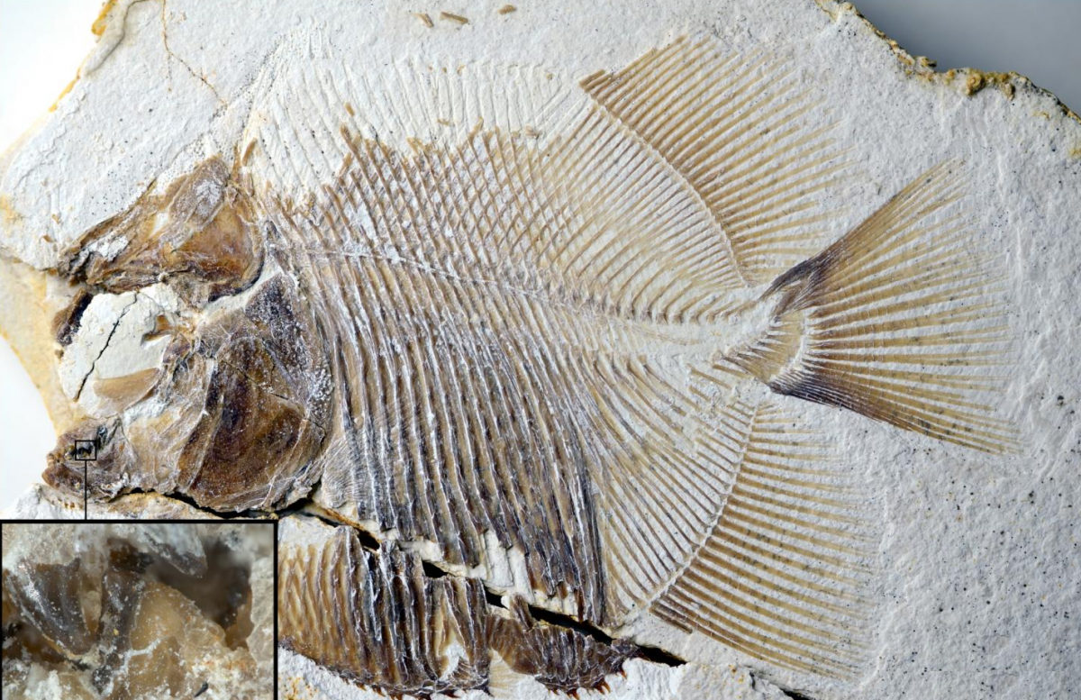 This image shows a new piranha-like fish from Jurassic seas with sharp, pointed teeth that probably fed on the fins of other fishes. From the time of dinosaurs and from the same deposits that contained Archaeopteryx, scientists recovered both this flesh-tearing fish and its scarred prey. Credit: M. Ebert and T. Nohl