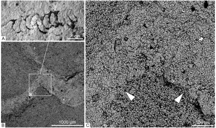 These are agglutinated walls in Palaeopascichnus linearis from the khatyspyt formation under the scanning electron microscope. (B, C) are magnified images showing the wall, the internal filling and the surrounding rock. White arrowheads mark the outer limit of the rim. Credit: Anton Kolesnikov