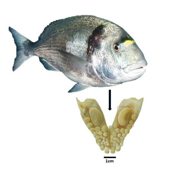 Jaw with a durophagous dentition consisting of teeth with thick enamel of the gilthead sea bream (Sparus aurata):  The large molariform tooth was used for oxygen isotope analysis and to estimate the size of the fish. Credit: © Guy Sisma-Ventura, Israel.