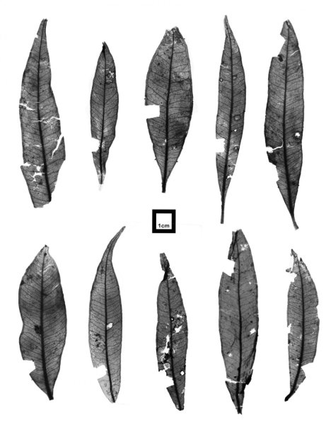 These are mummified Syzygium leaves discovered from the fossil-bearing  sediments at Kiandra, NSW. Credit: Myall Tarran.