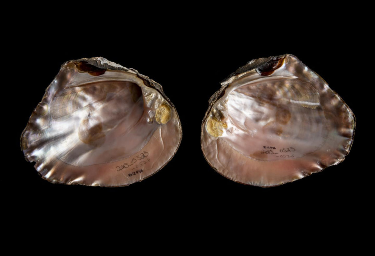 Mussels' rich colors fade over time. Seeing fresh examples of the archaeological specimens helped Sharpe and Emery understand why the Maya favored certain species for ornamentation. Credit: Florida Museum photo by Kristen Grace