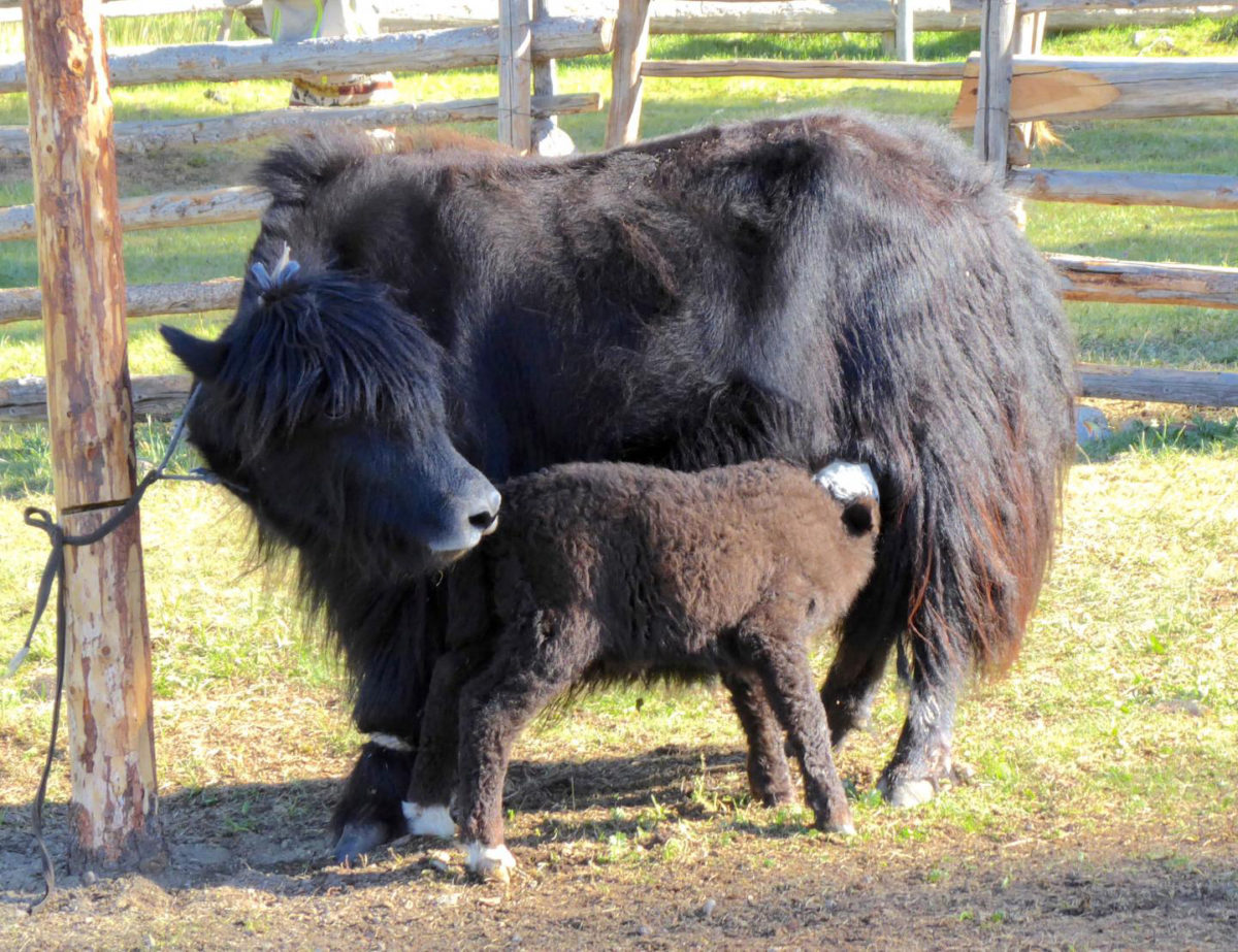 Many dairy livestock species, including cattle and yaks, were brought to Mongolia in prehistory. Credit: Christina Warinner