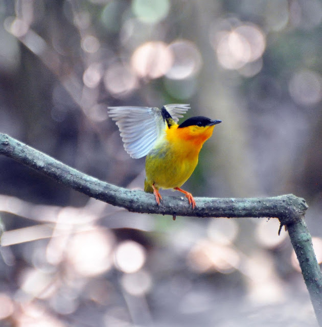 A golden collared manakin. Credit: Matthew Fuxjager