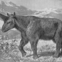 Siberian 'unicorns' extinct much later than believed