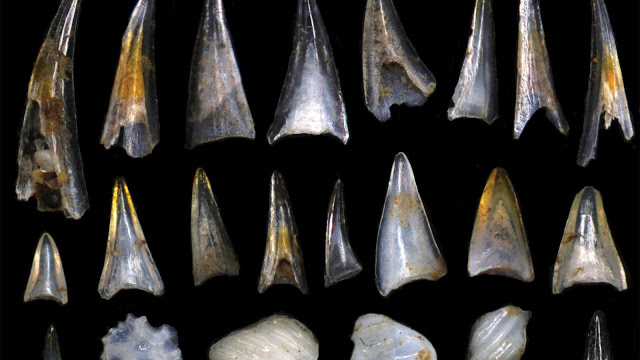 Based on close examination of thousands of fossilized fish teeth, Sibert, a Junior Fellow of the Harvard Society of Fellows, found that while the impact did cause some fish species to die off, it also set the stage for two periods of rapid evolution among marine life. Credit: Elizabeth Sibert