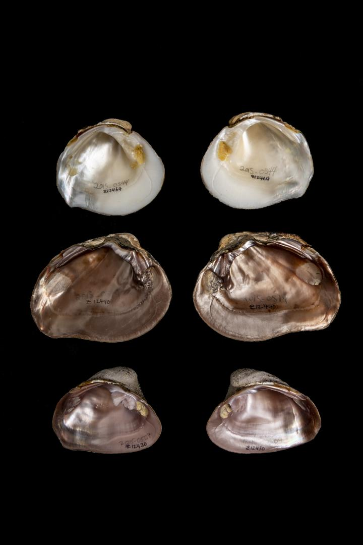 The abundance of names assigned to Mexican and Central American mussels may have led to an overestimation of the region's mussel diversity. DNA showed that many mussels with unique names belong to the same species. Credit: Florida Museum photo by Kristen Grace