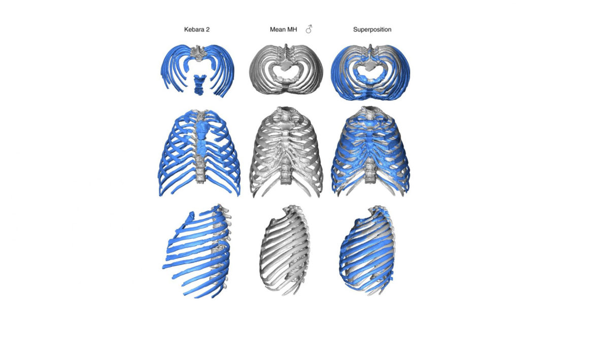 Virtual reconstruction shows how the ribs attach to the spine in an inward direction, forcing an even more upright posture than in modern humans. Credit : Gomez-Olivencia, et al