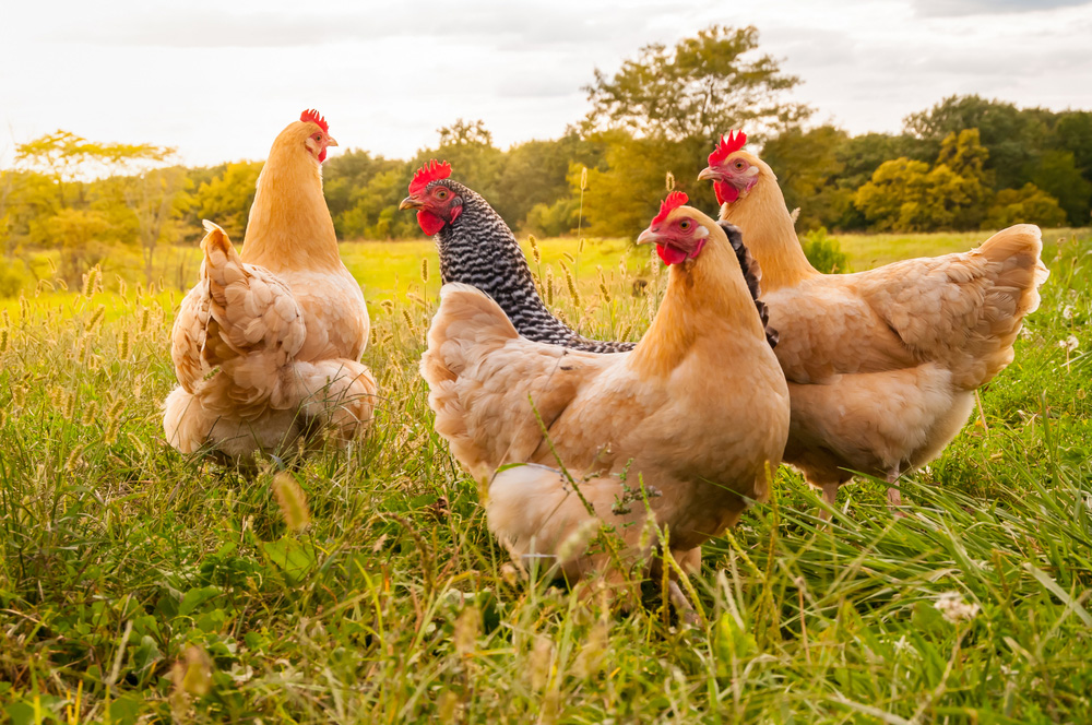 This new research suggests that the Anthropocene will be defined by the breeding and consumption of modern broiler chickens and associated future archaeological and geological deposits.