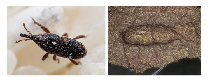 (Left) A living maize weevil. (Right) Image of a maize weevil impression from the surface of a pottery fragment. Credit: Prof. Hiroki Obata