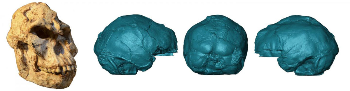 Virtual rendering of the brain endocast of