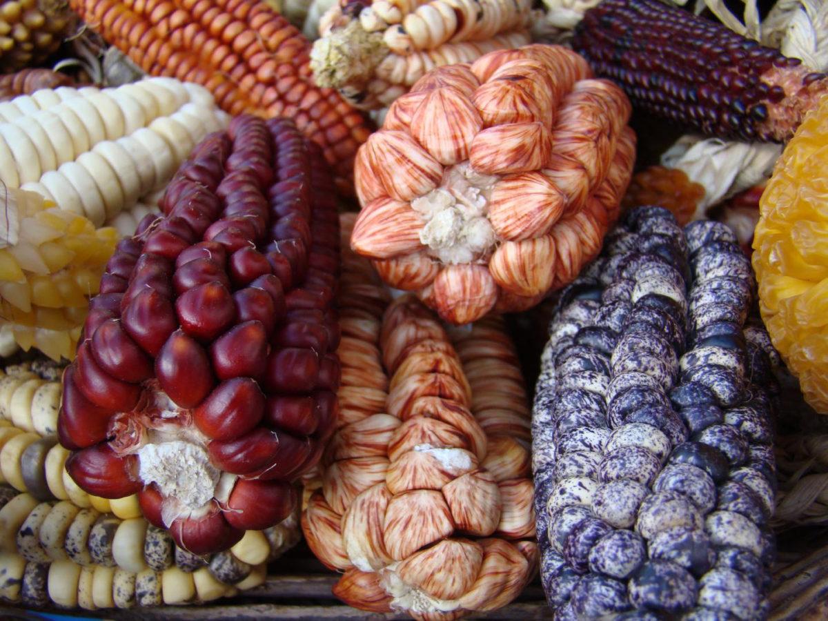 Varieties of maize found near Cuscu and Machu Pichu at Salineras de Maras on the Inca Sacred Valley in Peru, June 2007.  Credit: Fabio de Oliveira Freitas