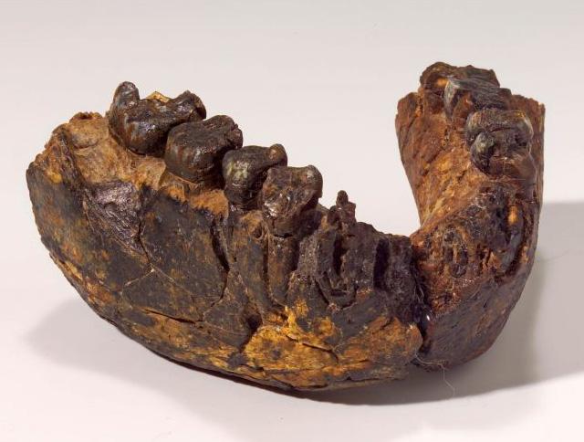 Lower jaw of a 2.4-million-year-old Homo rudolfensis, found at Uraha near Lake Malawi. Copyright: Hessisches Landesmuseum