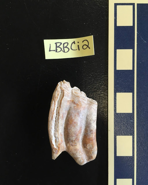 UC researchers examined strontium in 89 fossilized teeth excavated from two sites in Florida.  Pictured is a tooth from the prehistoric horse Cormohipparion. Credit: Jenelle Wallace.