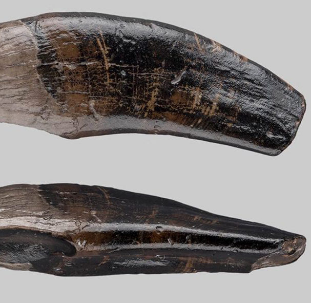 Left upper canine of the fossil macaque species from the bottom of the North Sea. Credit: S. Döring, Senckenberg Weimar