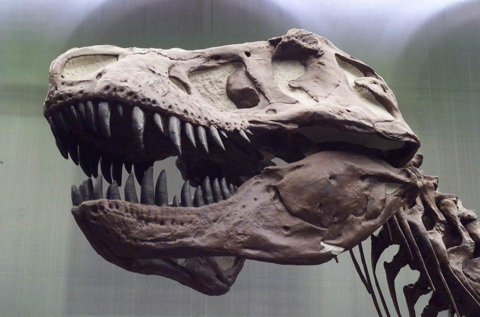 T. rex had an unusually flexible skull. Photo: Senckenberg